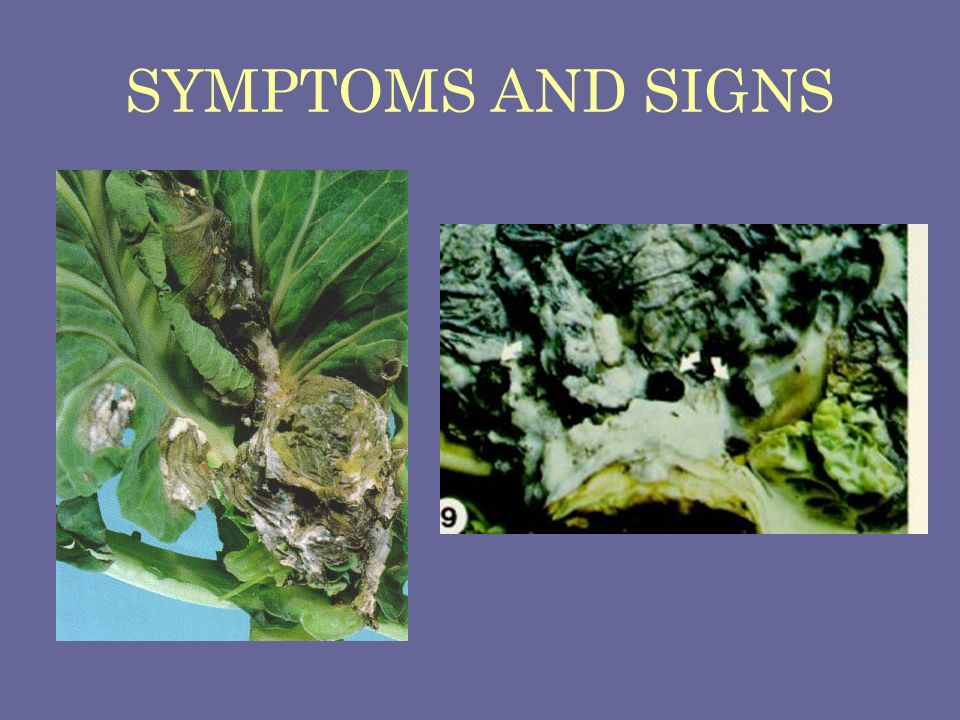 SYMPTOMS AND SIGNS Sclerotinia