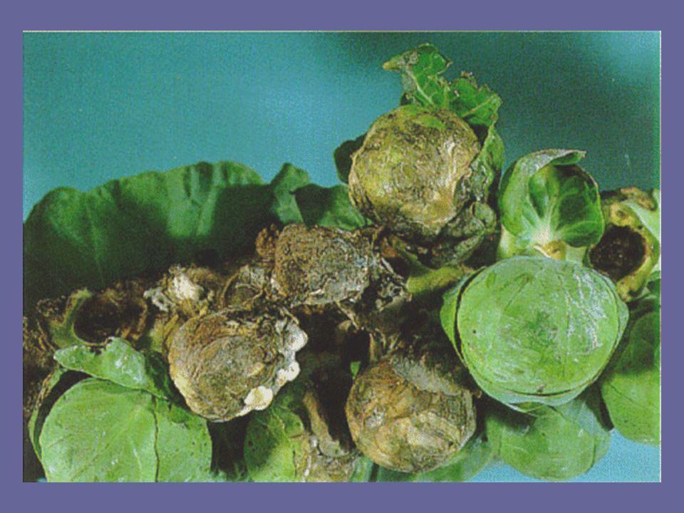 Sclerotinia white mold