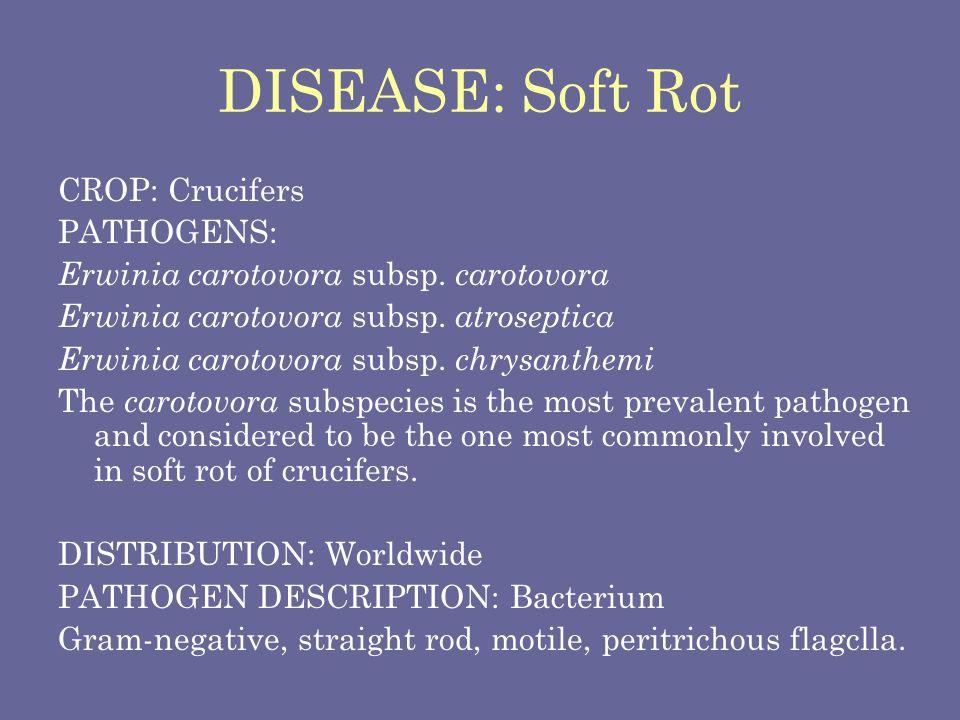 DISEASE: Soft Rot CROP: Crucifers PATHOGENS: