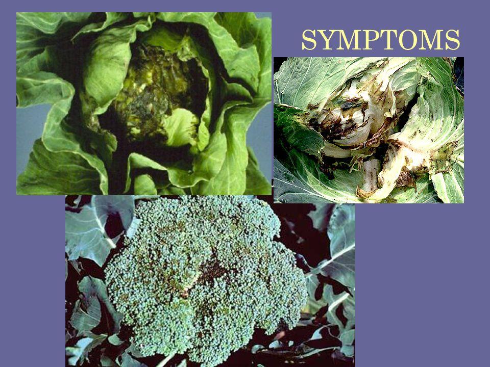 SYMPTOMS Soft rot Erwinia carotovora subsp. carotovora
