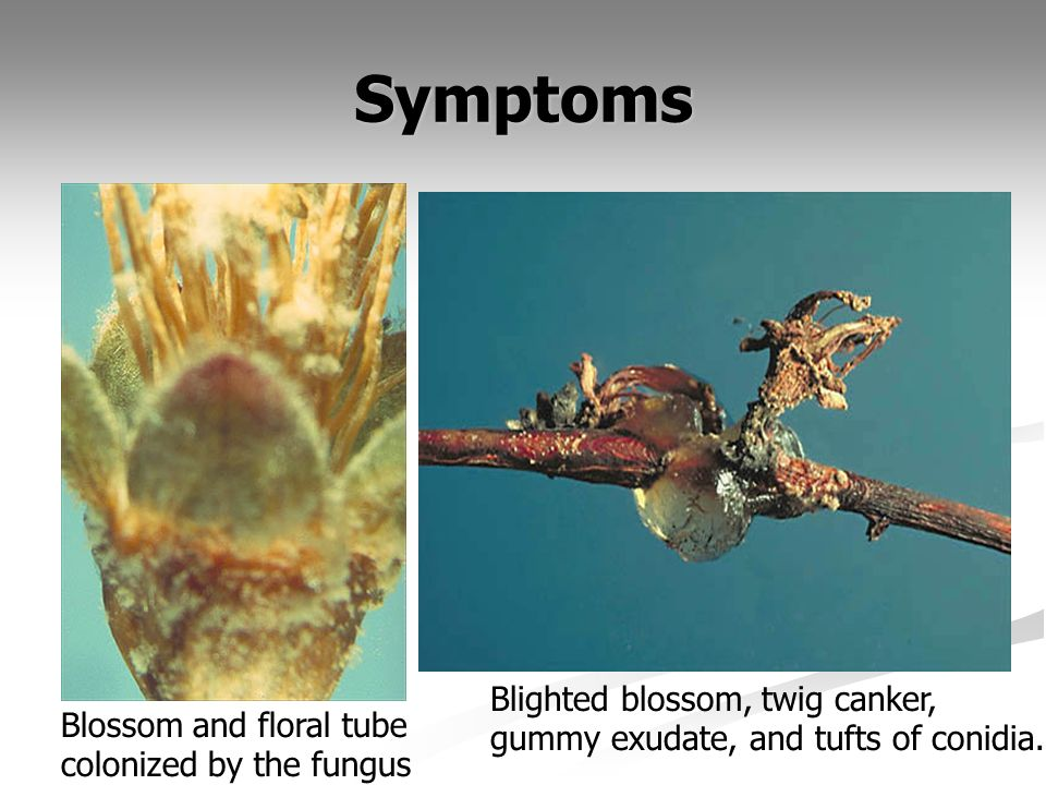 Symptoms Blighted blossom, twig canker,