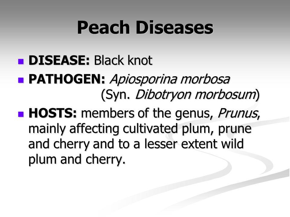 Peach Diseases DISEASE: Black knot