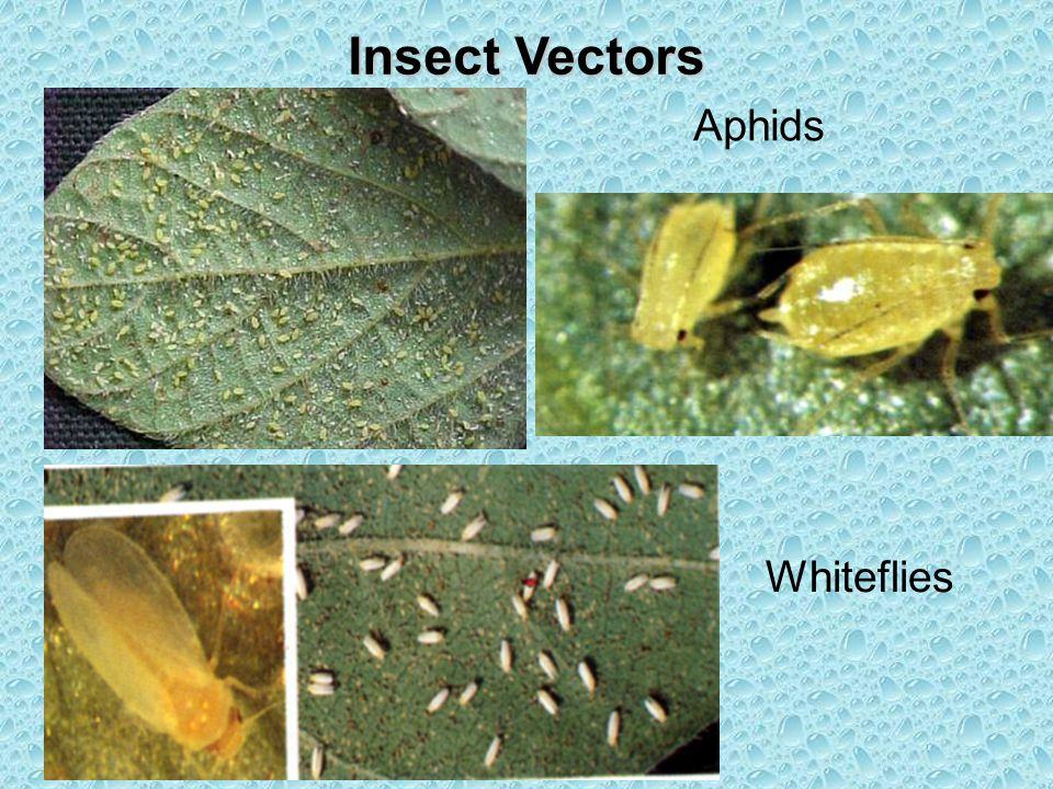 Insect Vectors Aphids Whiteflies