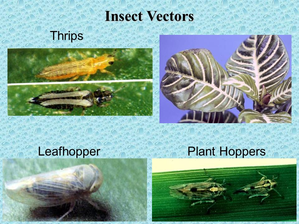 Insect Vectors Thrips Leafhopper Plant Hoppers