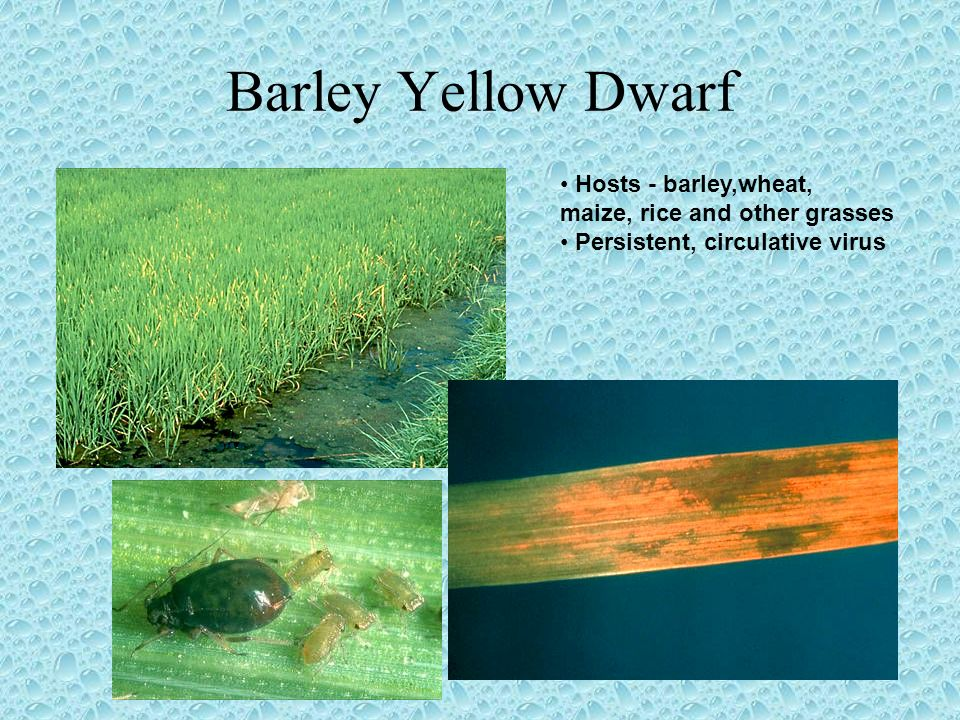 Barley Yellow Dwarf Hosts - barley,wheat,