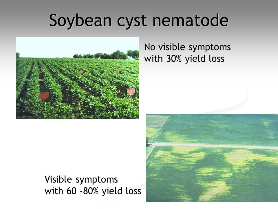 Soybean cyst nematode No visible symptoms with 30% yield loss