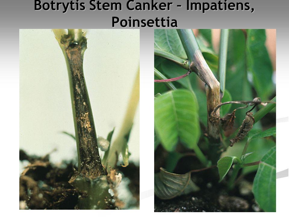 Botrytis Stem Canker – Impatiens, Poinsettia