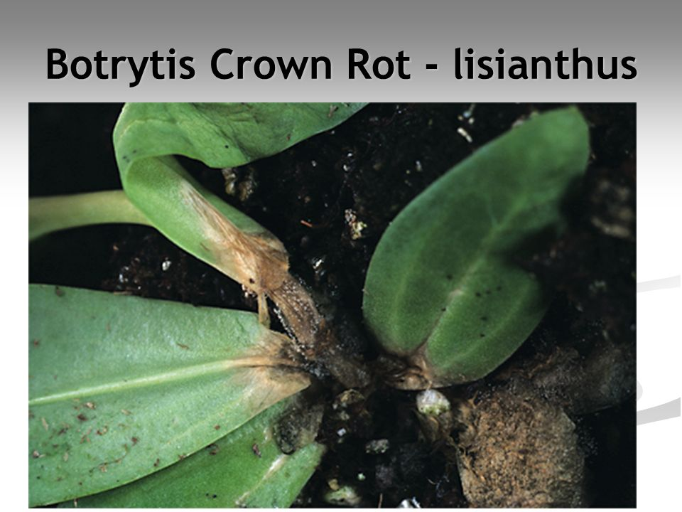 Botrytis Crown Rot - lisianthus