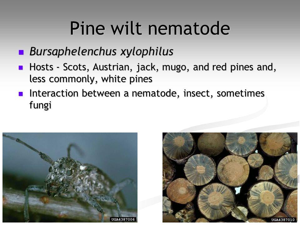 Pine wilt nematode Bursaphelenchus xylophilus