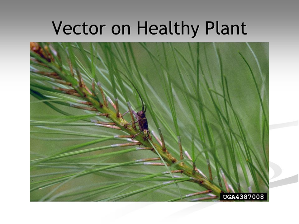 Vector on Healthy Plant