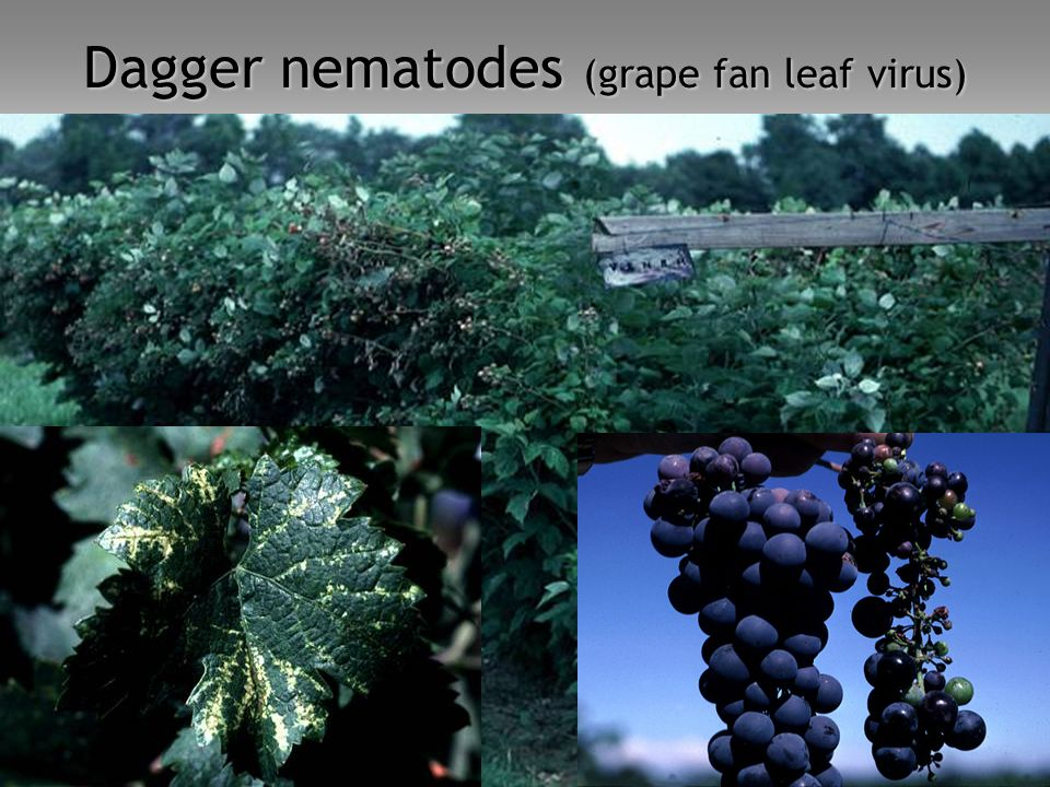 Dagger nematodes (grape fan leaf virus)