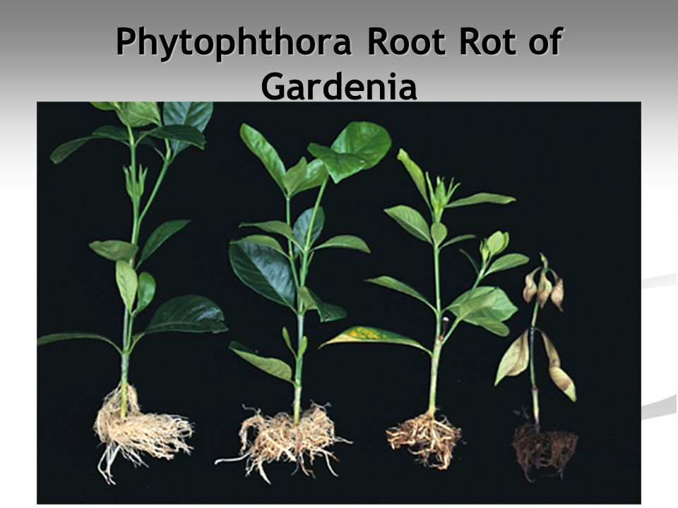 Phytophthora Root Rot of Gardenia