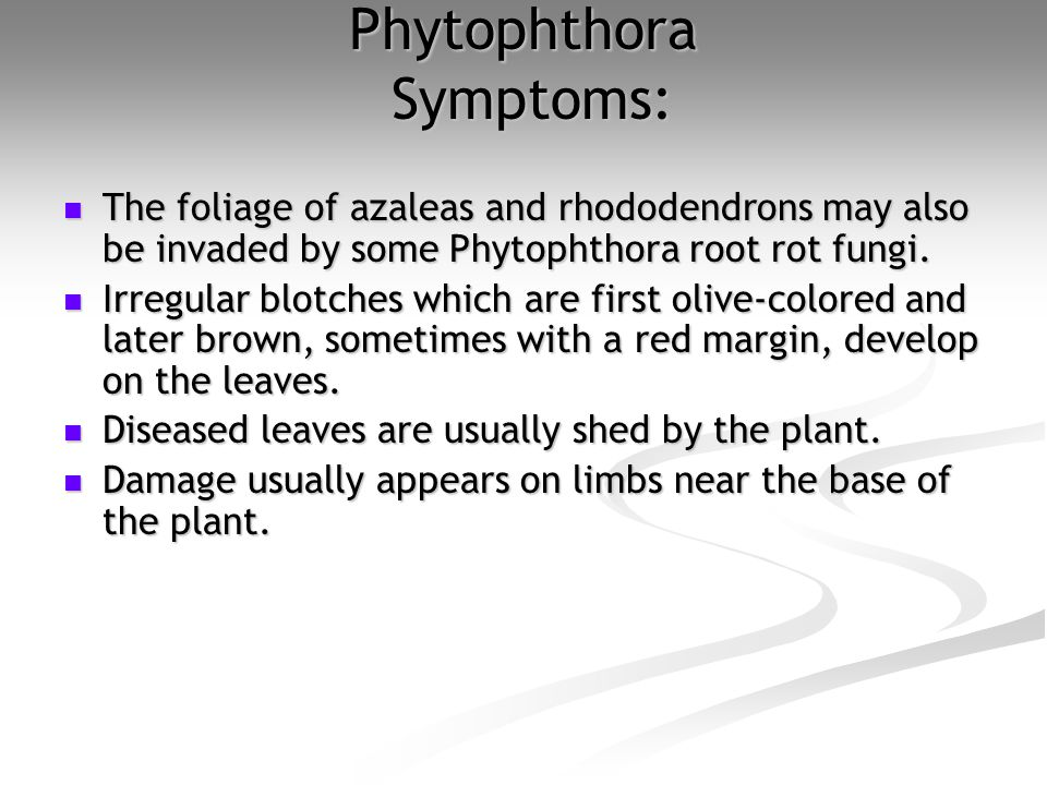 Phytophthora Symptoms: