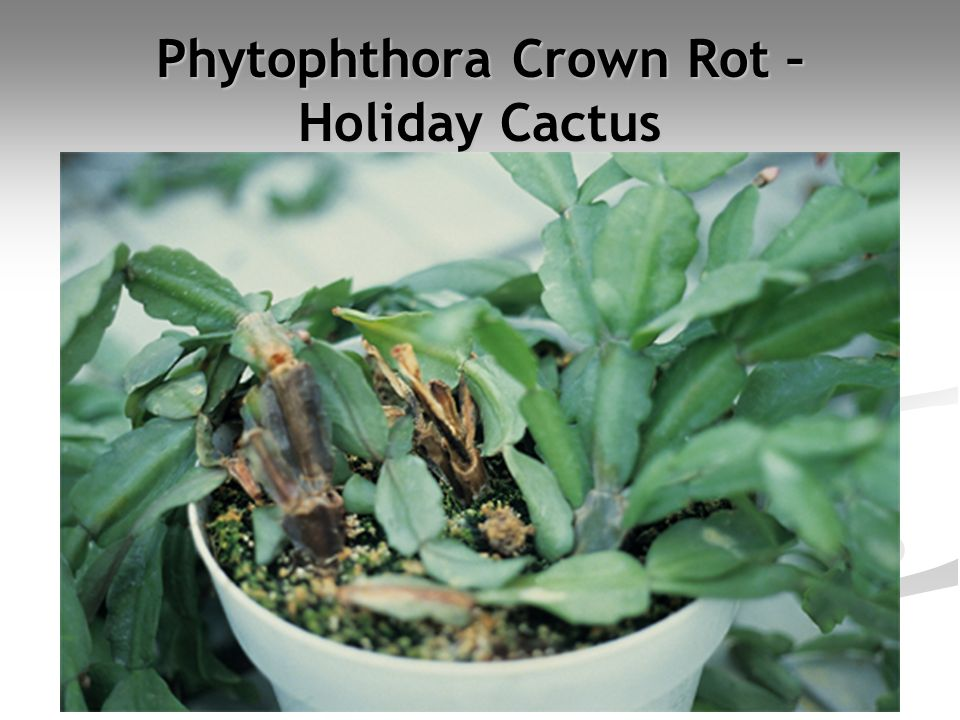 Phytophthora Crown Rot – Holiday Cactus