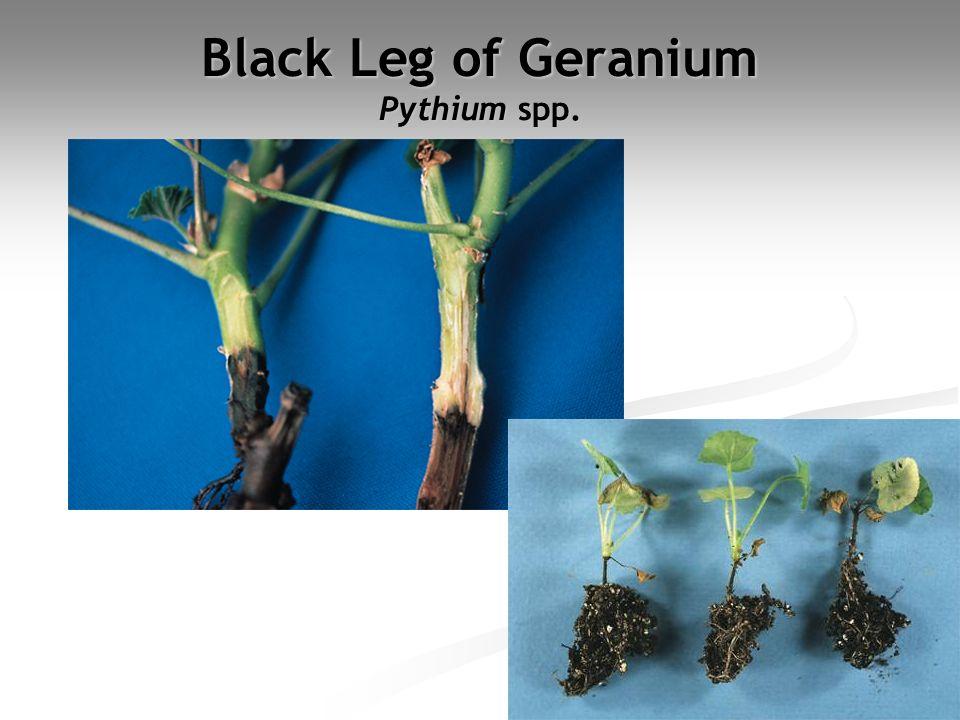 Black Leg of Geranium Pythium spp.