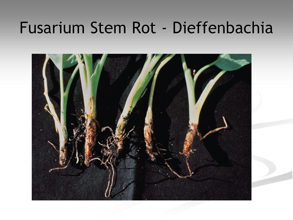 Fusarium Stem Rot - Dieffenbachia