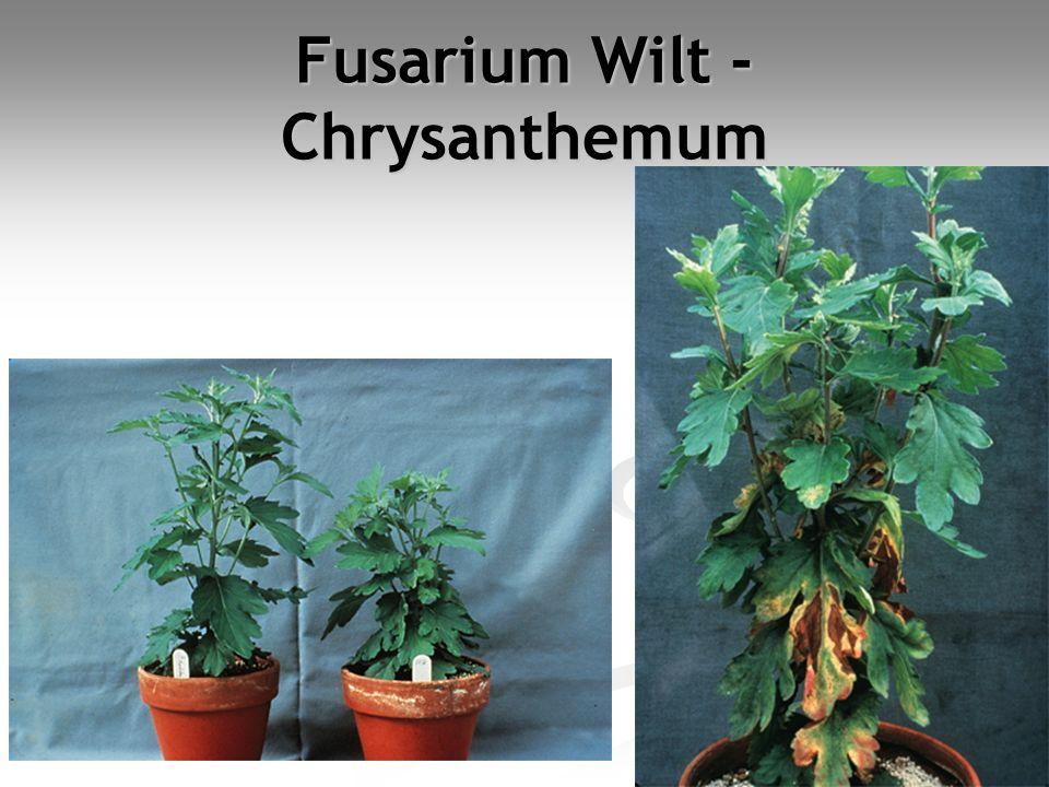 Fusarium Wilt -Chrysanthemum
