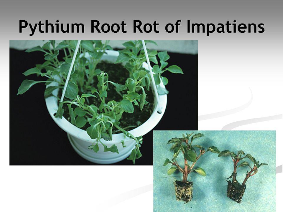 Pythium Root Rot of Impatiens