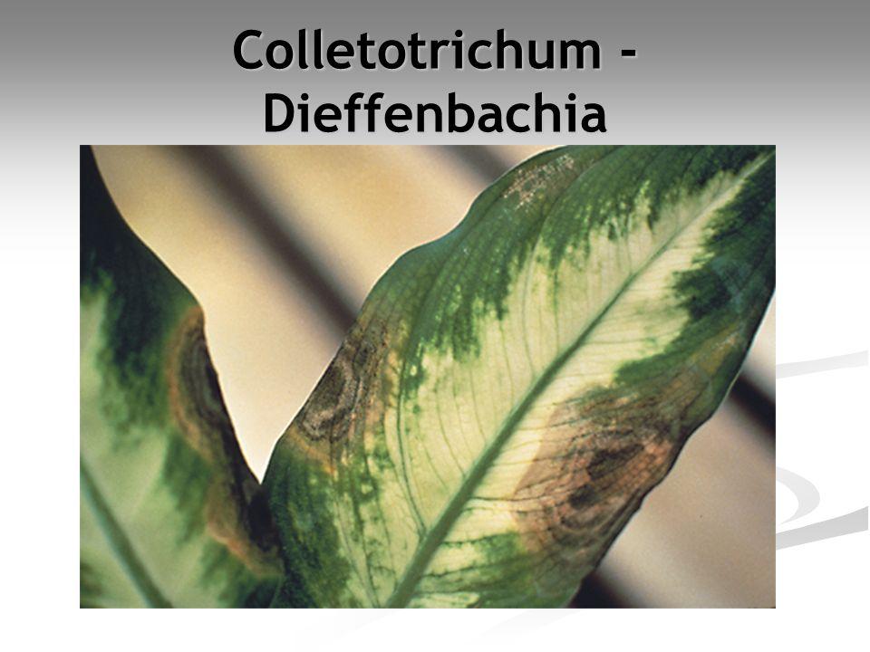 Colletotrichum - Dieffenbachia