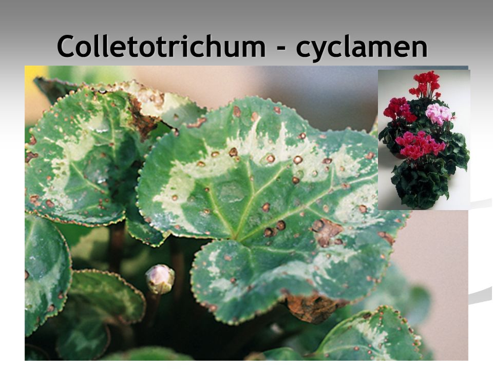 Colletotrichum - cyclamen