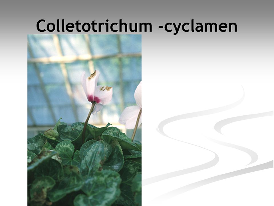 Colletotrichum -cyclamen