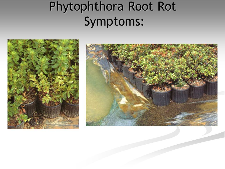 Phytophthora Root Rot Symptoms: