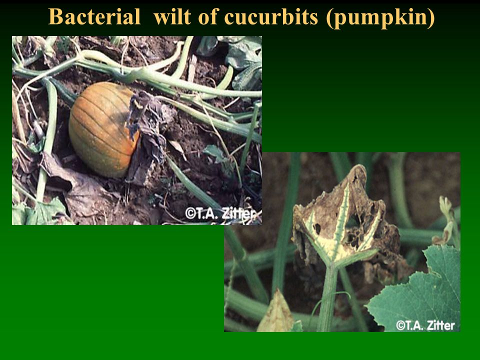 Bacterial wilt of cucurbits (pumpkin)