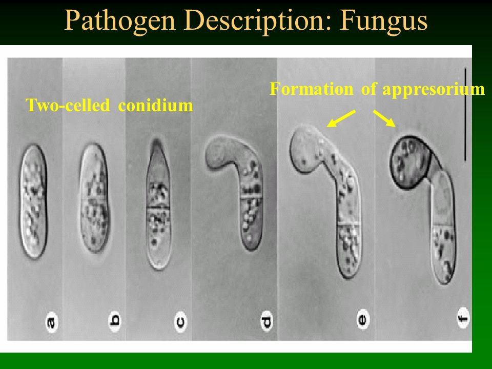 Pathogen Description: Fungus