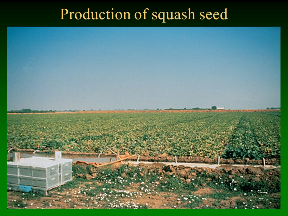 Production of squash seed