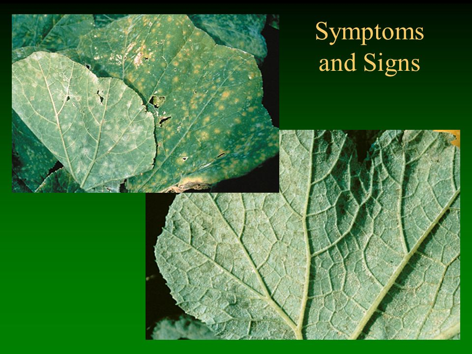 Symptoms and Signs Powdery mildew
