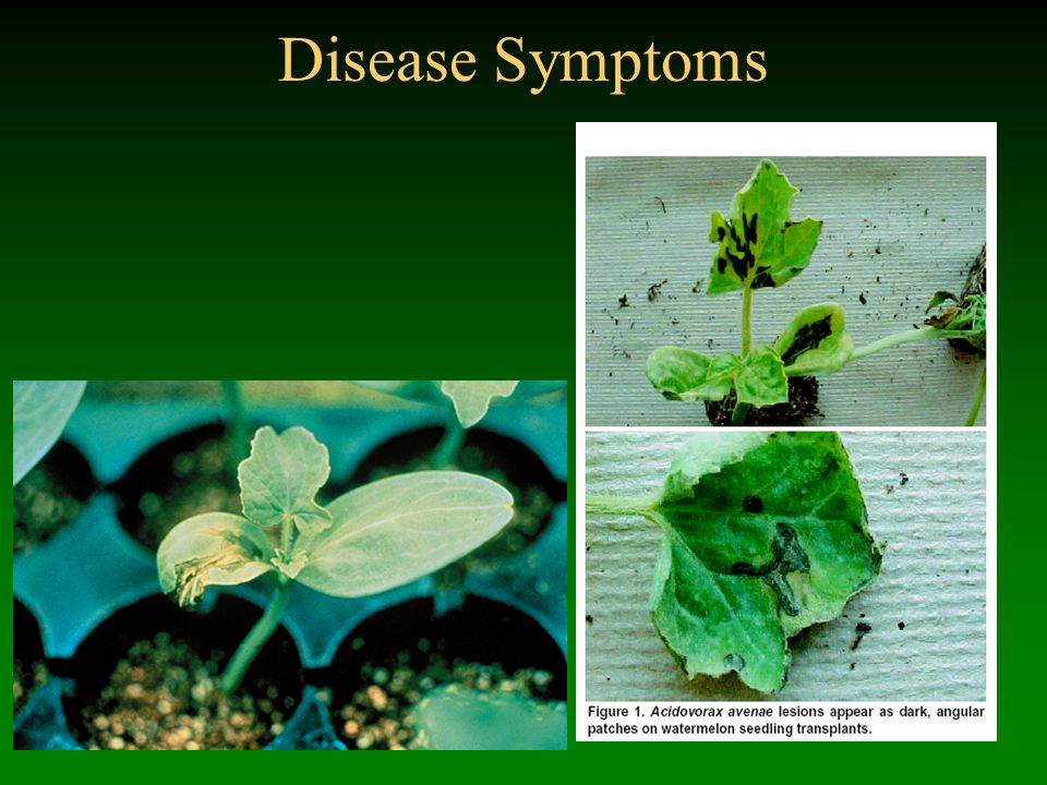 Disease Symptoms Bacterial fruit blotch