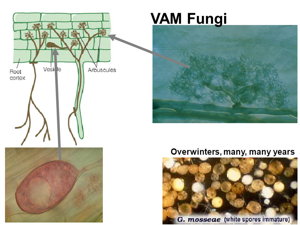 VAM Fungi Overwinters, many, many years vesicle