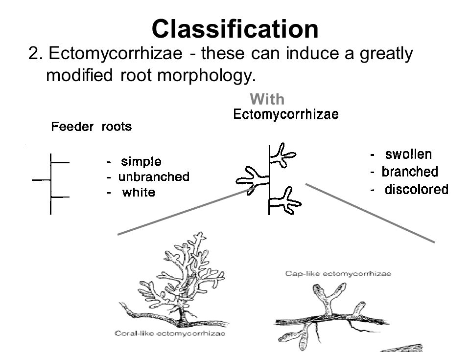 Classification 2. Ectomycorrhizae - these can induce a greatly modified root morphology. With