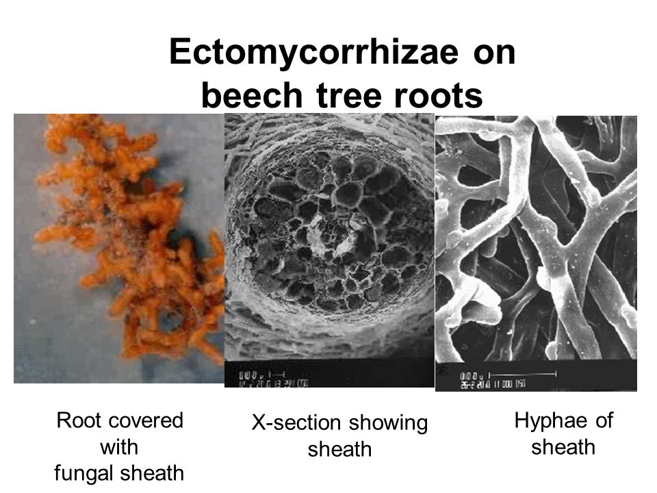 Ectomycorrhizae on beech tree roots