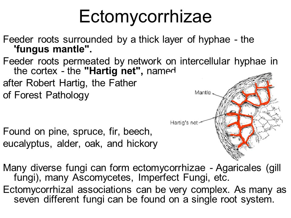 Ectomycorrhizae Feeder roots surrounded by a thick layer of hyphae - the fungus mantle .