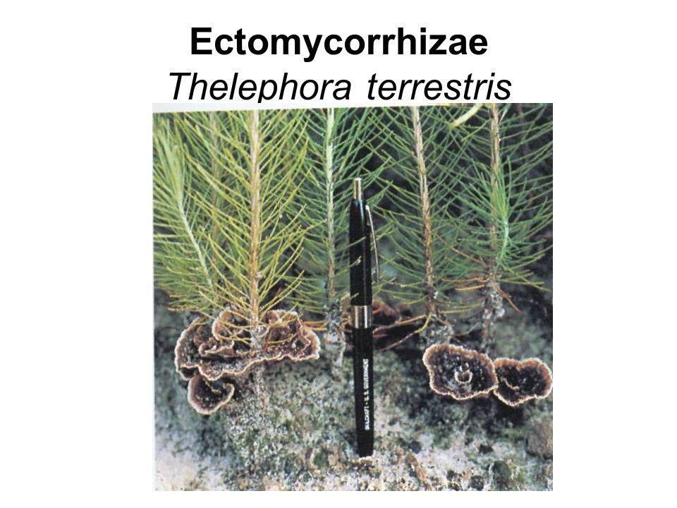 Ectomycorrhizae Thelephora terrestris