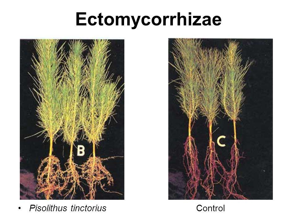 Ectomycorrhizae Pisolithus tinctorius Control