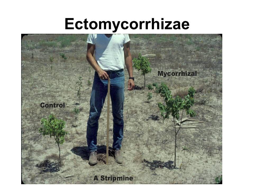 Ectomycorrhizae