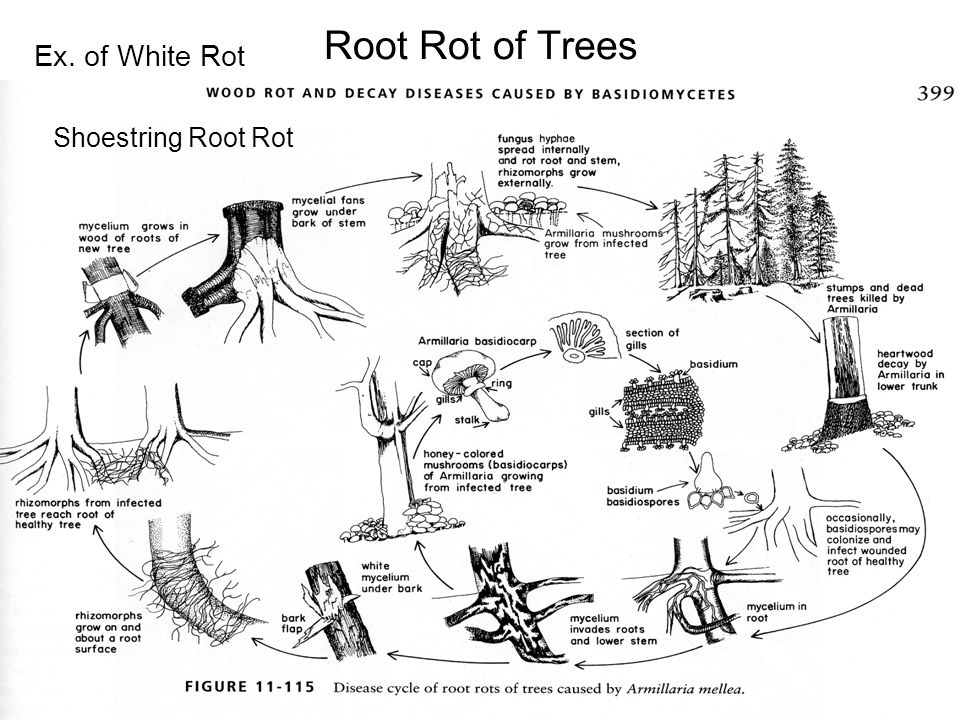 Root Rot of Trees Ex. of White Rot Shoestring Root Rot
