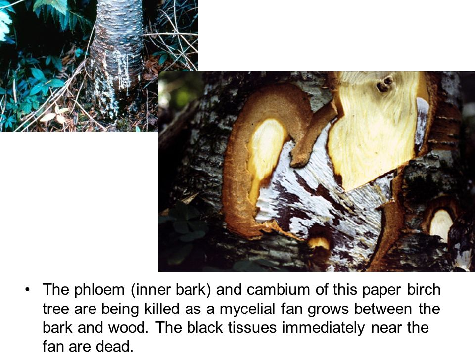 The phloem (inner bark) and cambium of this paper birch tree are being killed as a mycelial fan grows between the bark and wood.