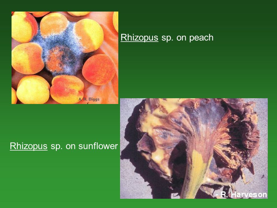 Rhizopus sp. on peach Rhizopus sp. on sunflower
