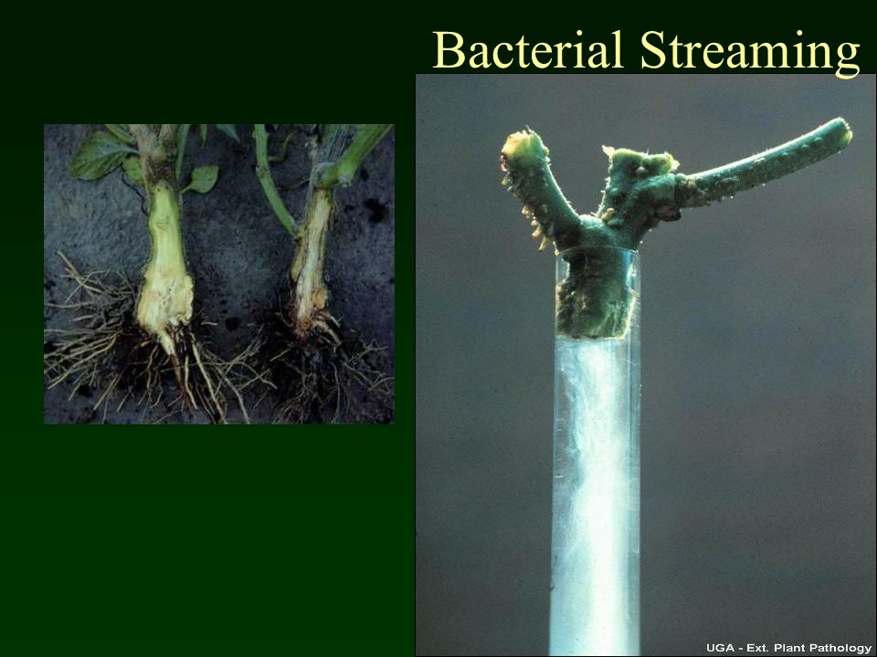 Bacterial Streaming Bacterial wilt of pepper caused by Ralstonia solanacearum