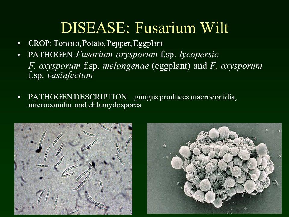 DISEASE: Fusarium Wilt