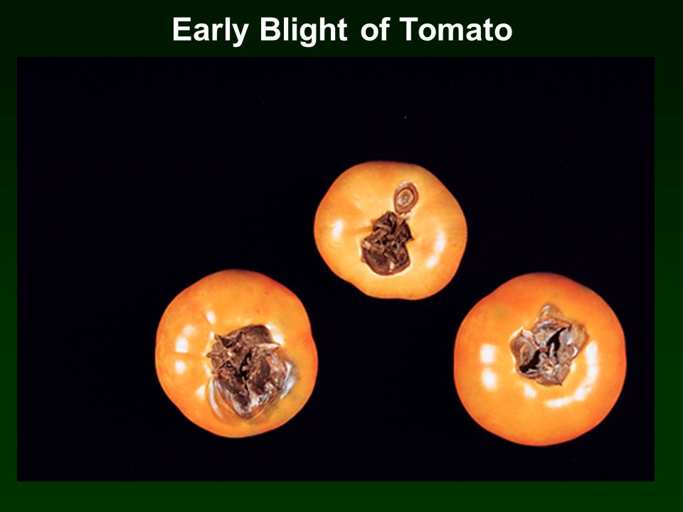 Early Blight of Tomato Early Blight on Tomato Casual agent