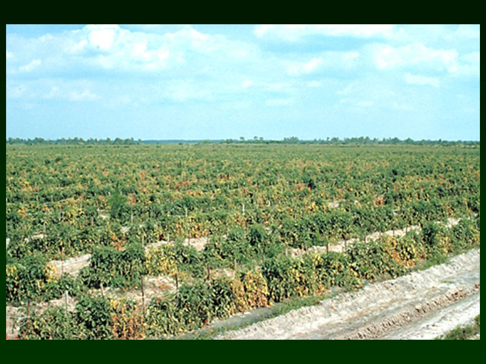 Fusarium wilt Casual agent – Fusarium oxysporum f.sp. lycopersici