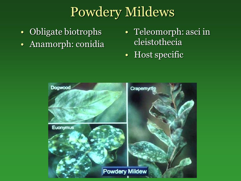 Powdery Mildews Obligate biotrophs Anamorph: conidia