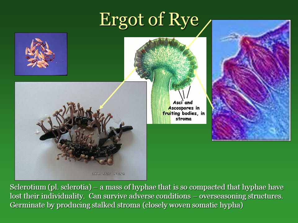 Ergot of Rye