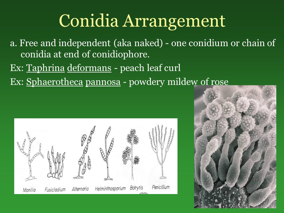 Conidia Arrangement a. Free and independent (aka naked) - one conidium or chain of conidia at end of conidiophore.