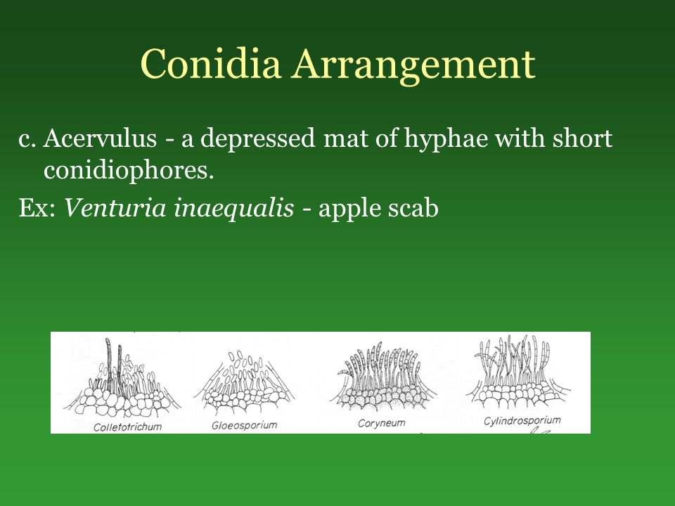 Conidia Arrangement c. Acervulus - a depressed mat of hyphae with short conidiophores.