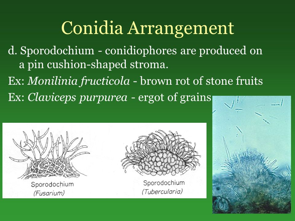 Conidia Arrangement d. Sporodochium - conidiophores are produced on a pin cushion-shaped stroma.